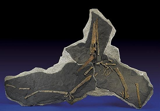 LARGE AND RARE PARTIAL PTEROSAUR SKELETON