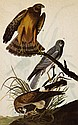MARSH HAWK John James Audubon Print