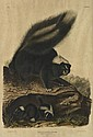 (ANIMALS.) Audubon, John James. Common American Skunk. Plate XLII.